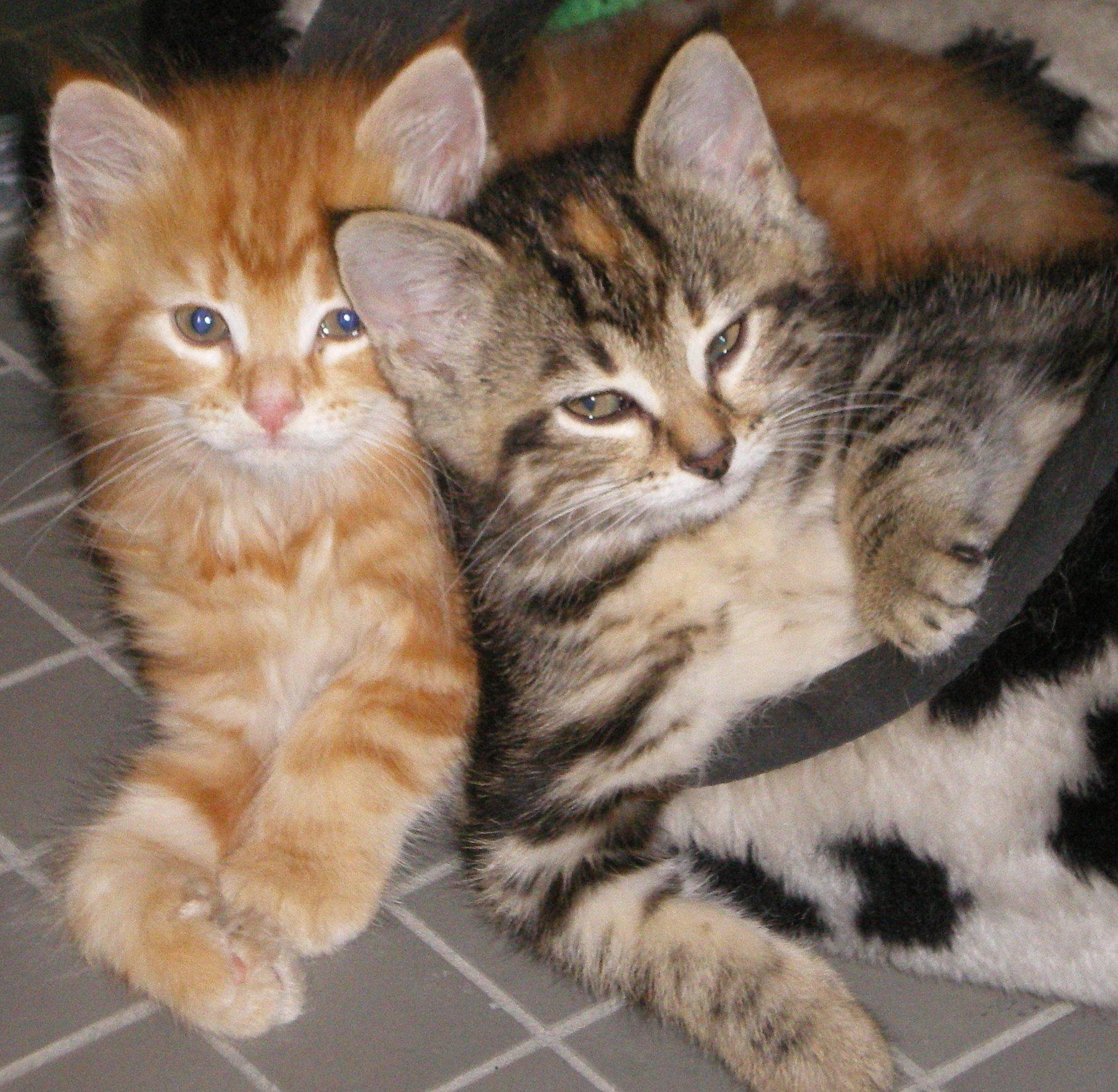 kitten-crop